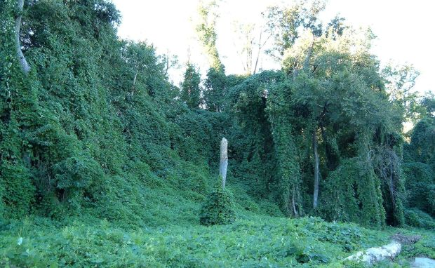 Kudzu_on_trees_in_Atlanta,_Georgia
